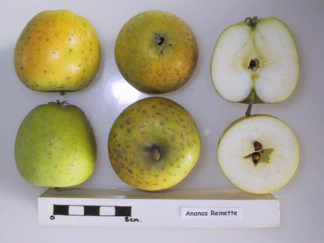 Ananas Reinette