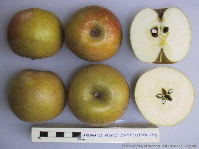 Aromatic Russet (Scott)