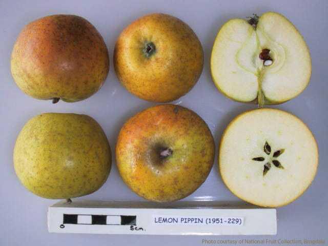 Lemon Pippin