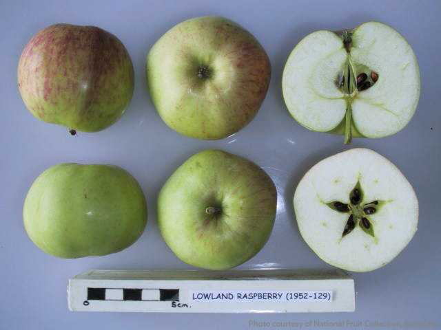 Lowland Raspberry