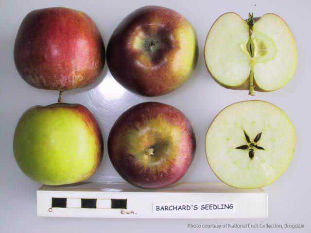 Barchard's Seedling