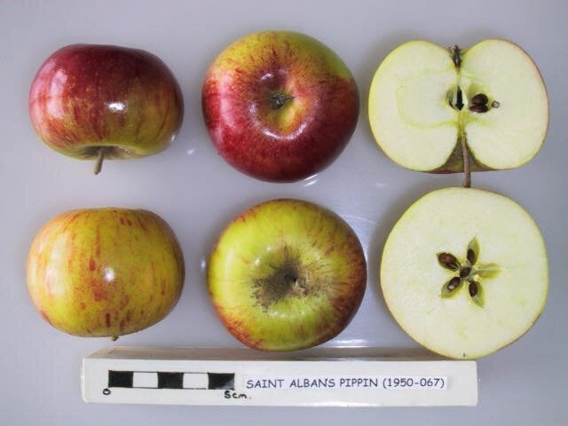 Saint Albans Pippin
