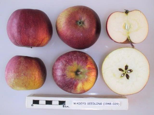 Wadey's Seedling