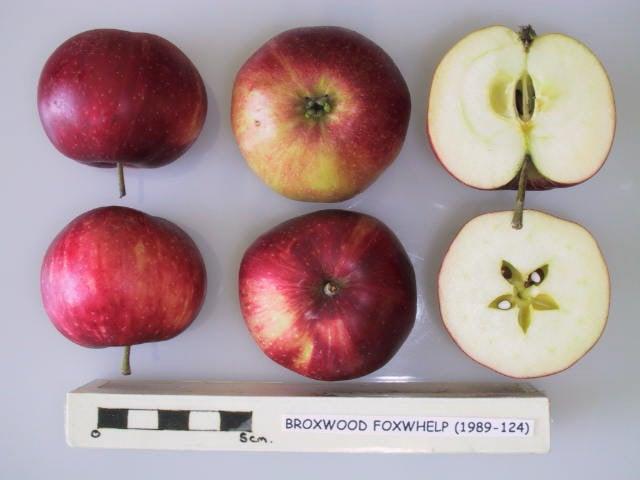Broxwood Foxwhelp