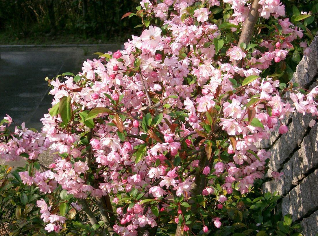 Malus halliana
