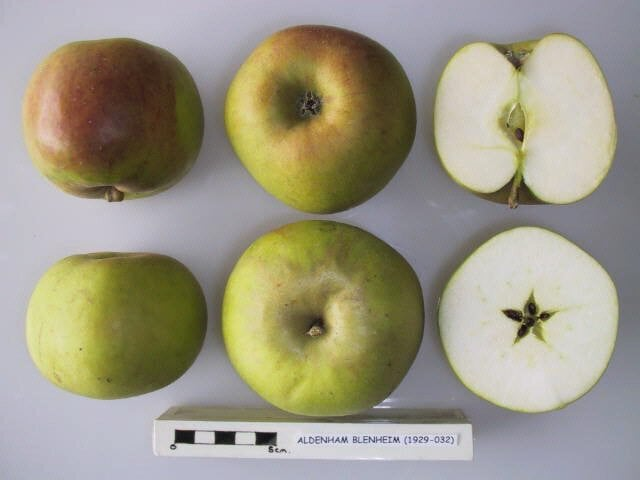 Aldenham Blenheim