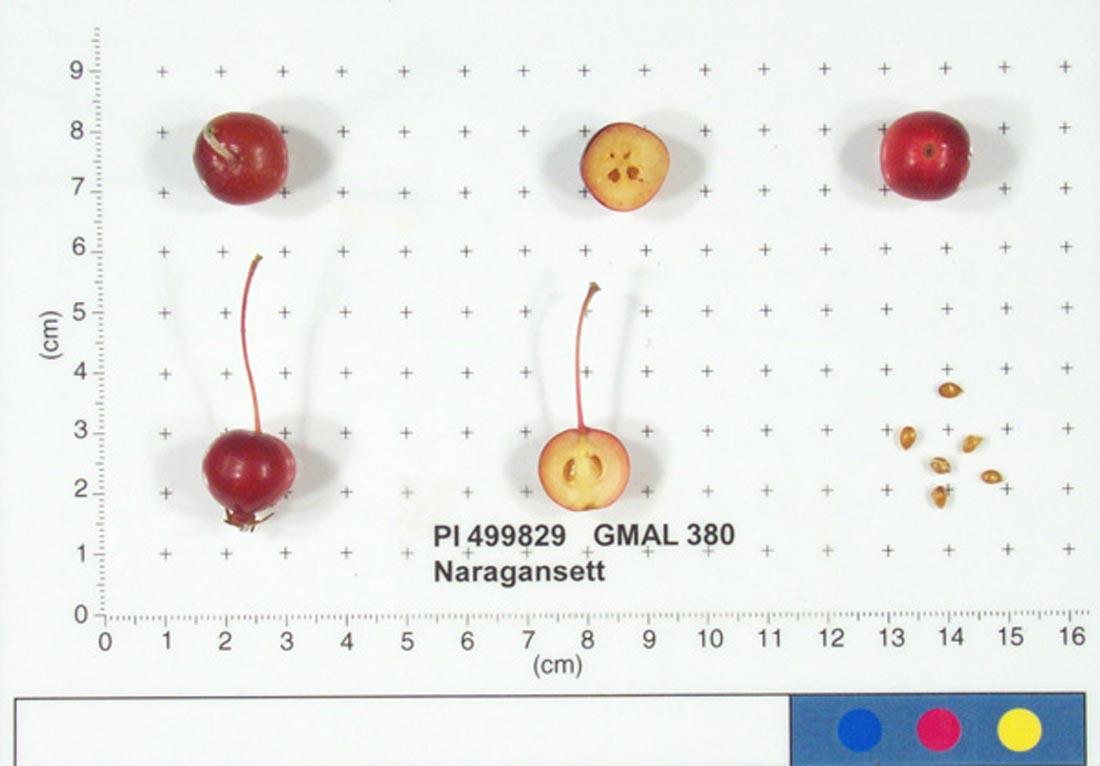 Narragansett Crabapple