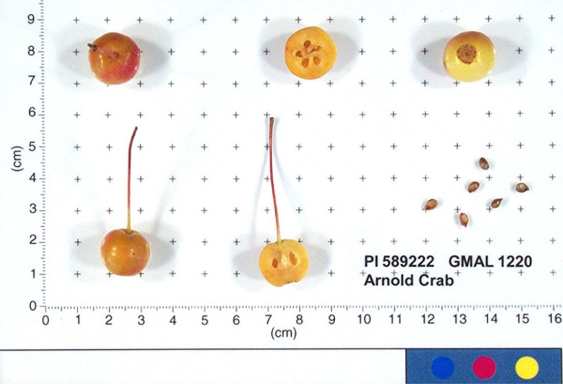Arnold Crab