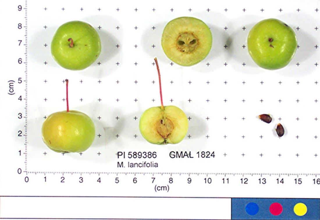 Malus lancifolia